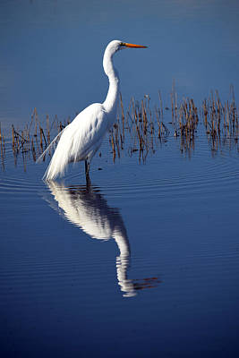 Photograph - Great White Egret And Reflection by Frank Wilson