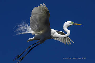 Reflectivity Photograph - Great White Egret by Barry Goble