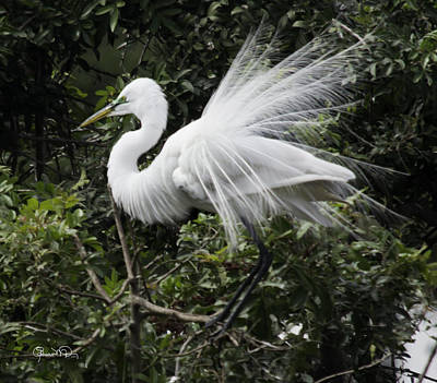 Photograph - Great White Egret Building A Nest Ix by Susan Molnar