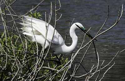 Photograph - Great White Egret Building A Nest Vi by Susan Molnar