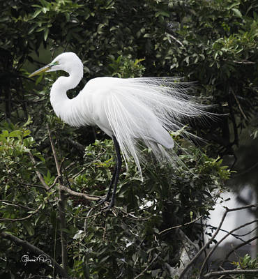 Photograph - Great White Egret Building A Nest Vii by Susan Molnar