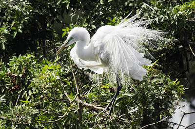 Photograph - Great White Egret Building A Nest X by Susan Molnar