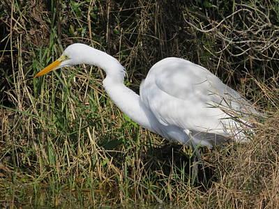 Photograph - Great White Egret by Ellen Meakin