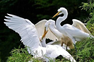 Great White Egret Feeding Time Art Print by Paulette Thomas