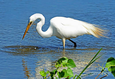 Photograph - Great White Egret Fishing by Rodney Campbell