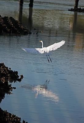 Great White Egret - In Flight Original