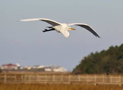 Great White Egret Incoming Art Print by Paulette Thomas