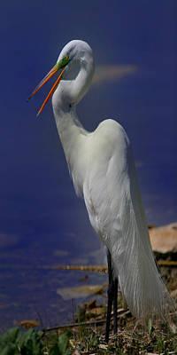 Great White Egret Original