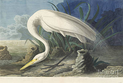 Drawing - Great White Egret by Celestial Images