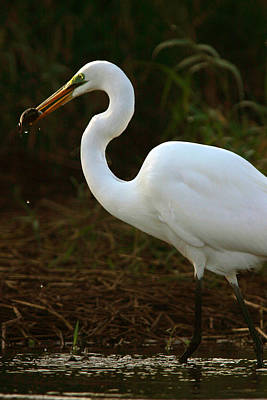 Great White Egret Art Print by Mark Russell