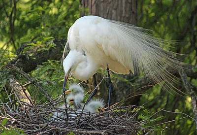 Great White Egret Mom And Chicks IIi Original by Suzanne Gaff