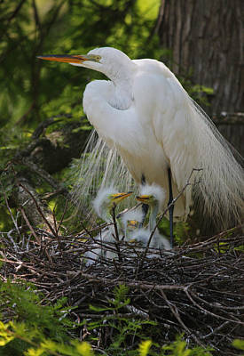Great White Egret Mom And Chicks Original