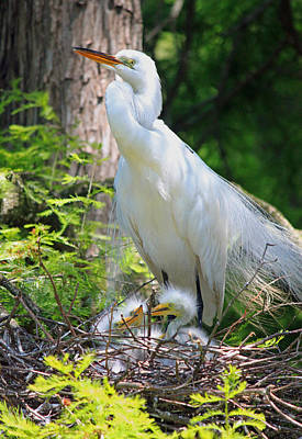 Great White Egret Mom And Chicks Vi Original by Suzanne Gaff