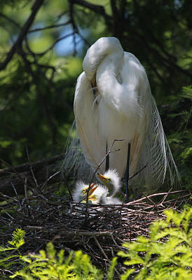 Baby Bird Photograph - Great White Egret Mom Needs A Nap I by Suzanne Gaff