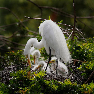 Photograph - Great White Egret Nesting by Joseph G Holland