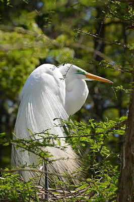Great White Egret On Nest Art Print