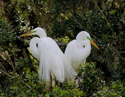 Photograph - Great White Egret Pair In Breeding Plumage by Jeanne Kay Juhos