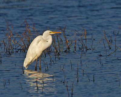 Photograph - Great White Egret by Paul Scoullar