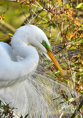 Great White Egret Portrait Art Print