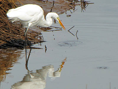 Photograph - Great White Egret  by Tikvah's Hope