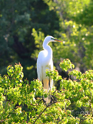 Photograph - Great White Egret by Suzette Kallen