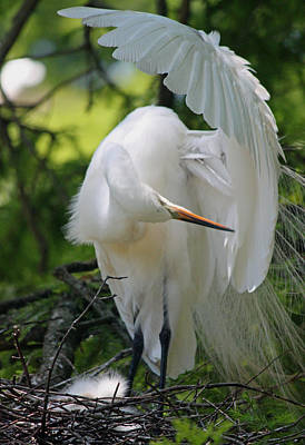 Great White Egret - Time To Primp Original by Suzanne Gaff