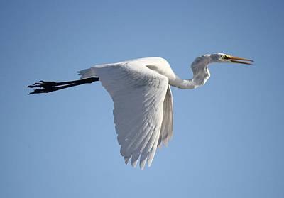 Great White Egret Wings Down Art Print by Paulette Thomas