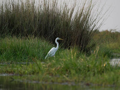 Great Egret Photograph - Great White Heron Ardea Alba, Okavango by Panoramic Images