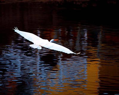 Photograph - Great White Heron In Flight by Gray  Artus