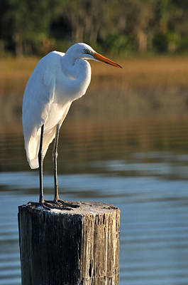 Photograph - Great White Heron by Peter DeFina