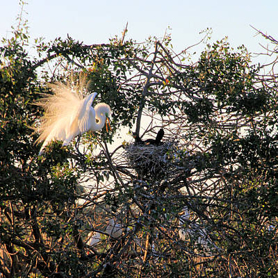 Great White Heron With Chicks Art Print by Rosalie Scanlon