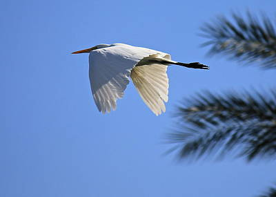 Art Print featuring the photograph Great White In Flight by Penny Meyers