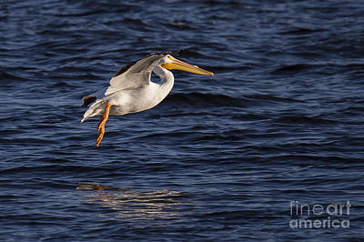 Great White Pelican On The Water Art Print