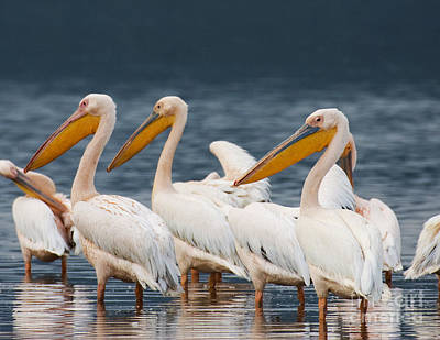 Photograph - Great White Pelicans  by Chris Scroggins