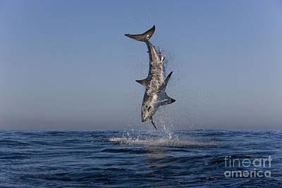 Photograph - Great White Shark by Jean-Louis Klein and Marie-Luce Hubert