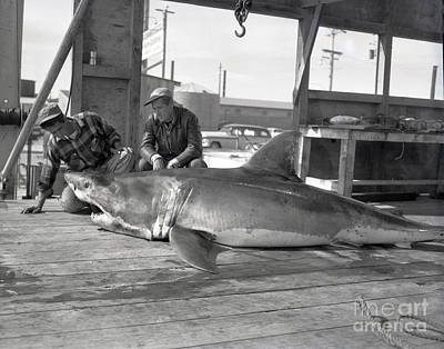 Photograph - Great White Shark Monterey Bay California 1953 by California Views Archives Mr Pat Hathaway Archives