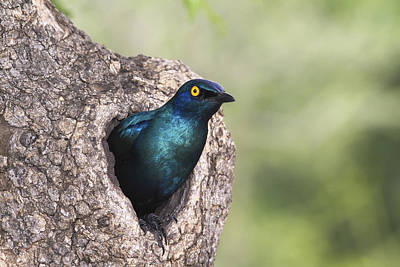 Starling Photograph - Greater Blue-eared Glossy-starling by Andrew Schoeman