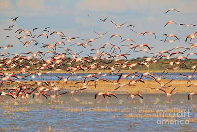 Photograph - Greater Flamingo - Flying Colors by Hermanus A Alberts