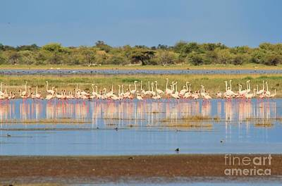 Photograph - Greater Flamingo - Reflections Of Pink by Hermanus A Alberts
