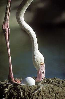 Mud Nest Photograph - Greater Flamingo And Egg by M. Watson