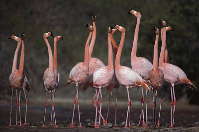 Jervis Photograph - Greater Flamingo Group Courtship Dance by Tui De Roy