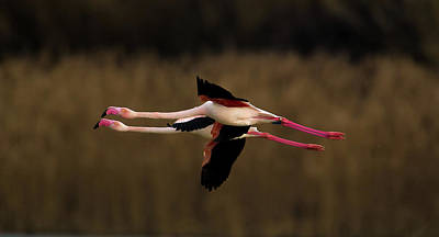 Greater Flamingo Art Print