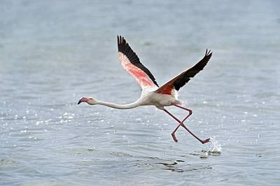 Greater Flamingo Taking Flight Art Print