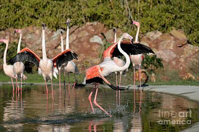 Flamingos Photograph - Greater Flamingos by George Atsametakis