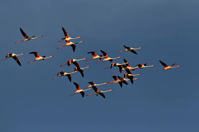 Greater Flamingos In Flight, Camargue Art Print