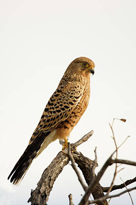 Bird Photograph - Greater Kestrel Falco Rupicoloides by Ariadne Van Zandbergen