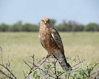 Photograph - Greater Kestrel by Ramona Johnston