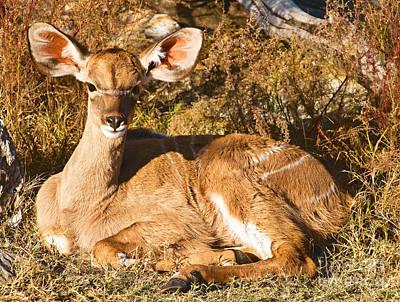 Greater Kudu Calf Art Print by Millard H. Sharp