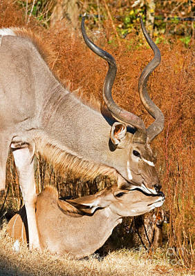 Greater Kudu Male And Female Art Print by Millard H. Sharp