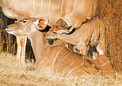 Greater Kudu Mother And Baby Art Print by Millard H. Sharp